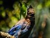 Smile! (CORDAN) Tags: 2017 cordan dmyers nikond300 nikkor70200mmf28d stellersjay cyanocittastelleri geaidesteller characrestada crest fluffy stellarjay brightblueandblack blue bird bluebird peanut bokeh bokehliciousbird tree branch leaves green nature
