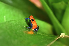 Strawberry Poison Dart Frog (ott.geoffrey) Tags: sarapiqui costarica strawberry strawberrypoisondart bluejeans frog red blue macro wildlife animal amphibian herp herping colorful small tiny little d750