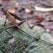 Sinharaja - Otocryptis Kangaroo Lizard