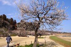 Plum Blossom (kazuo0801) Tags: plum tree white dog people path beautiful nature mito ibaraki kairakuen park japan