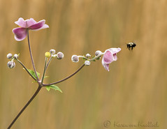Bumbling along... (KvonK) Tags: flower grass august bee bumblebee grasses anemones f11 2015 iso2000 1500sec kvonk tamron150to600mm