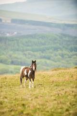 Wild Pony (movinonagroove) Tags: b wild horse forest nikon breconbeacons pony brecon abercraf cribarth