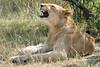 Masai Mara Lions-09 (johnaalex) Tags: kenya wildlife lion lioness maasai masaimara d810 nikonafs80400f4556gwithtc14eii
