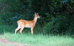 Growing up. (rlbarn) Tags: wildlife deer fawn whitetail