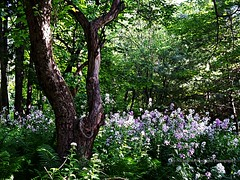 The Old Apple Tree, Fiddlehead Ferns and Wild Phlox (joyolsonnichols) Tags: old flowers shadow wild plant flower tree green texture nature beautiful leaves rural landscape outdoors leaf spring colorful day natural artistic vibrant background branches country joy blossoms may peaceful growth treetrunk bark lush ferns wildflower edible phlox tranquil appletree nichols blooming mottled olson fiddleheads damesrocket theoldappletree joynichols joynicholsartworkandphotography fiddleheadfernsandwildphlox