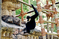 White Cheeked Gibbon (Andrei.P) Tags: animals orlando honeymoon unitedstates florida events places olympus disneyworld weddings animalkingdom whitecheekedgibbon maharajahjungletrek kateandjames omdem5