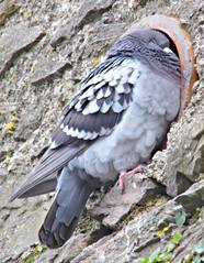Sleeping In The Gutter?! ('cosmicgirl1960') Tags: birds pigeons devon brixham yabbadabbadoo