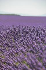 lavender - lavande - lavanda (melaniearte) Tags: pictures france de couple purple champs lavender fields provence lavande provenza lavanda