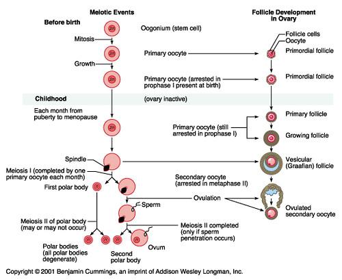 Gambar diagram spermatogenesis dan oogenesis block and schematic id ngibad s most interesting flickr photos picssr rh picssr com spermatogenesis vs oogenesis chart comparison ccuart Choice Image