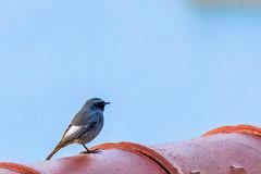 rougequeue noir (Phoenicurus ochruros) (yann.dimauro) Tags: france noir fr oiseau rhone rhônealpes givors ornithologie rougequeue rougequeuenoir