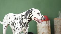 DSC02763 (agorayebm) Tags: dog dalmatian dlmata
