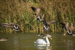 Incoming! (Phil Everett Photography) Tags: autumn canon geese canadian arrivals 100400 5d3