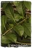 Solandra maxima 'Golden Chalice Vine' (farmer dodds) Tags: mexico royalbotanicgardenedinburgh solanaceae solandra solandramaxima ethnobotanical goldenchalicevine solandramaximagoldenchalicevine