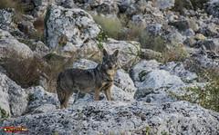 Lobo Ibrico (pepeludelgado) Tags: espaa naturaleza mountain nature animal fauna spain lobo iberica ibrico