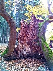 2015-11-04_06-34-08 (fil_____) Tags: wood autumn tree green nature landscape outdoor ngc greece thessaloniki     macedoniagreece   mythessaloniki