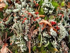 British soldier lichen (chaerea) Tags: canada nature mushroom forest woodland bc fungi mycology cladonia lichne
