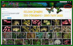 50,000 Images, 16th November 2015 - IDENTIFYING AUSTRALIAN RAINFOREST PLANTS,TREES and FUNGI Flickr Group (Black Diamond Images) Tags: screenshot rainforest 50000 rainforests australianflora australiannativeplants australianplants rainforestflora rainforestplants rainforestplant australianrainforest arfp australianrainforests australianrainforestplants idrainforestgroupmilestones australianrainforestflora arfmilestone identifyingaustralianrainforestplantstreesandfungigroup 50000images idrainforestgroup rainforestidentification 50000thimage 16thnovember2015 16112015