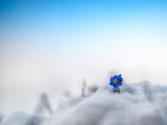 """First Snow"" (helmet13) Tags: d800e raw flora nature flower blossom myosotis forgotmenot snow winter macro selectivefocus aoi world100f heartaward peaceaward platinumheartaward 200faves simplicity"