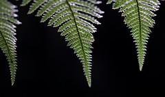 The Three (Tones Corner) Tags: fern leaf nzscene nzbeauty nativenzbush