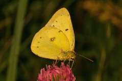 2015 Orange Sulphur (Colias eurytheme) 5 (DrLensCap) Tags: county railroad orange chicago abandoned robert forest butterfly bug way insect spur illinois woods track pacific district union cook trails right il trail rails sulphur to preserve kramer weber preserves colias labagh eurytheme of