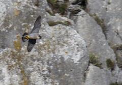 Peregrine Falcon (Vertical Planar) Tags: mountain athens greece arma parnitha