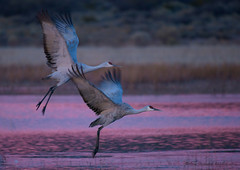 Pretty in Pink (Happy Photographer) Tags: pink water sunrise wildlife flight bosquedelapache sandhillcranes refuge amyhudechek nikon200500f56