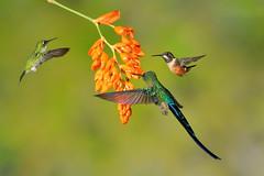 Flower Feast (6195L) (Bob Walker (NM)) Tags: bird hummingbird ecuador tandayapa bootedrackettail ocreatusunderwoodii aglaiocercuscoelestis violettailedsylph purplethroatedwoodstar calliphloxmitchellii ptwo 50kmnwofquito pichinchaprovince
