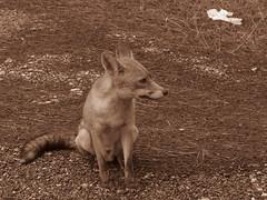 Fox (RoccerSoccerDave) Tags: italy toscana sepia canon powershot sx220hs maremma animals fox cow