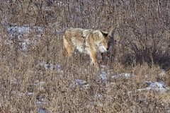 16220736 (geelog) Tags: alberta calgary fishcreekpark olympusem1markii olympusm300mmf40 coyote winter