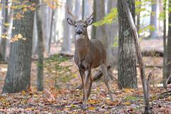 White-Tailed Deer (av8s) Tags: whitetaileddeer deer buck wildlife nature photography nikon d7100 sigma 120400mm pennsylvania pa
