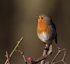Sing a Song (Gary McHale) Tags: robin rspb old moor singing