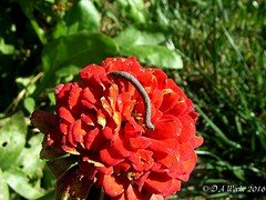 Inch Worm (Picsnapper1212) Tags: inchworm caterpillar insect animal nature zinnia
