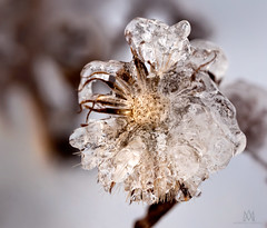 winter wonders (marianna_a.) Tags: p3080559 winter ice snow frozen flower weed plant montreal canada marianna armata mariannaarmata lumixstories