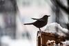 La neige est revenue ... (The snow is back...) (Larch) Tags: oiseau bird neige snow balcon balcony merle blackbird arbre tree branche flocon snowflake branch merlette femaleblackbird