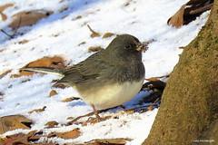 Dark-eyed Junco (Lois McNaught) Tags: darkeyedjunco junco bird avian nature wildlife outdoor snow hamilton ontario canada
