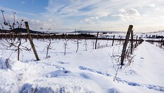 Snowy apple orchard (tomaskriz1) Tags: clouds sky orchard apple white frost snow trunk plant outdoor forest landscape natural nature outdoors rural scene season tree trees moravian czech winter