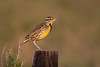 Singing 'Bout Nothing (gseloff) Tags: easternmeadowlark bird wildlife singing anahuacnationalwildliferefuge nwr chamberscounty texas gseloff