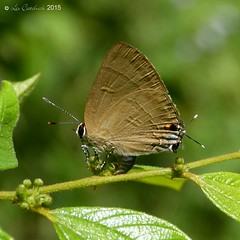 Slate flash (LPJC) Tags: d11 kerala india 2015 lpjc butterfly slateflash rapalamanea hairstreak