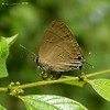 Slate flash (LPJC (just back - all comments over last 2 weeks h) Tags: d11 kerala india 2015 lpjc butterfly slateflash rapalamanea hairstreak