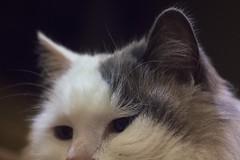 Beau (lordgogurt) Tags: cat animal kitty kitten pet fur cute feline eyes face eye ears focus soft depth field depthoffield hair indoor indoors