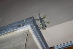 Tokay Gecko (Rogan Hersee) Tags: colour indonesia travel lizard lizards wildlife seminyak bali tokay gecko tokaygecko