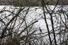 20170104-_IMG1021-Edit (fleetingphotons) Tags: pentaxk1 smcpentaxa200mmf28ed wasingestate fishing warrenbeat kennet rowneyslake cormorant