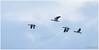 wait for us (HP015838) (Hetwie) Tags: zonsondergangsea water noordbeveland nature natuur zee sky ganzen vogel geese goos oosterschelde zeeland bird wissenkerke nederland