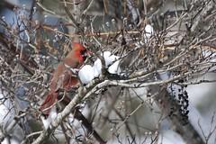 Northern cardinal ( Cardinalis cardinalis ) (benth0s) Tags: red cardinalis cardinale rosso northern cardinal north arolina winter snow inverno neve small bird uccello