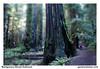 Montgomery Woods Redwood (gardnerphotos.com) Tags: gardnerphotoscom montgomerywoods redwoods california coastalredwoods mendocino muirwoods route1 highway1