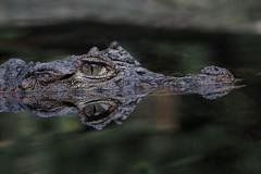 Breitschnauzenkaiman (Sonja Hahn) Tags: breitschnauzenkaiman krokodil alligator caimanlatirostris wilhelma stuttgart zoo tier animal spiegelung