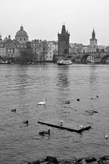 Swans and ducks in Prague (Alexei L) Tags: swan ducks prague czechia europe river water vltava riverside architecture monochrome blackwhite black