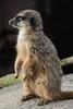 Erdmännchen im Gaia Zoo (Ulli J.) Tags: zoo niederlande nederland netherlands paysbas nederlandene limburg kerkrade gaiazoo erdmännchen meerkat suricate surikate stokstaartje surikat