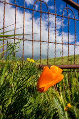 Colors on a Country Road (Rod Heywood) Tags: poppy californiapoppy goldenpoppy stateflower flower green blue orange countryroad backroads montereycounty exploring winter grass clouds pastures fence gate rusty arches wire sunny greenhills