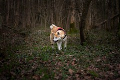 Yume - akita inu (stphanielegay) Tags: yume akitainu diamondclassphotographer dog forest nature liberty nikon dogphotography nikond7200 50mmf18d